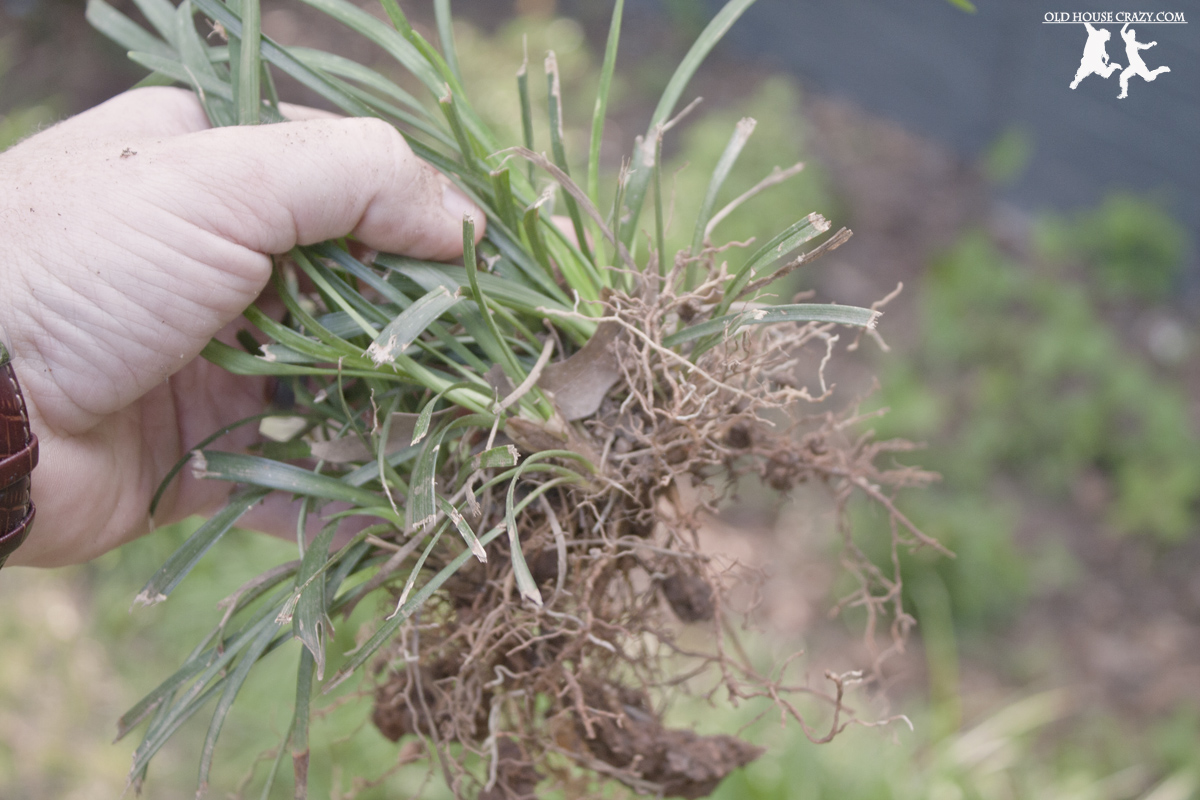 Weeds in flower beds with potato like roots - You