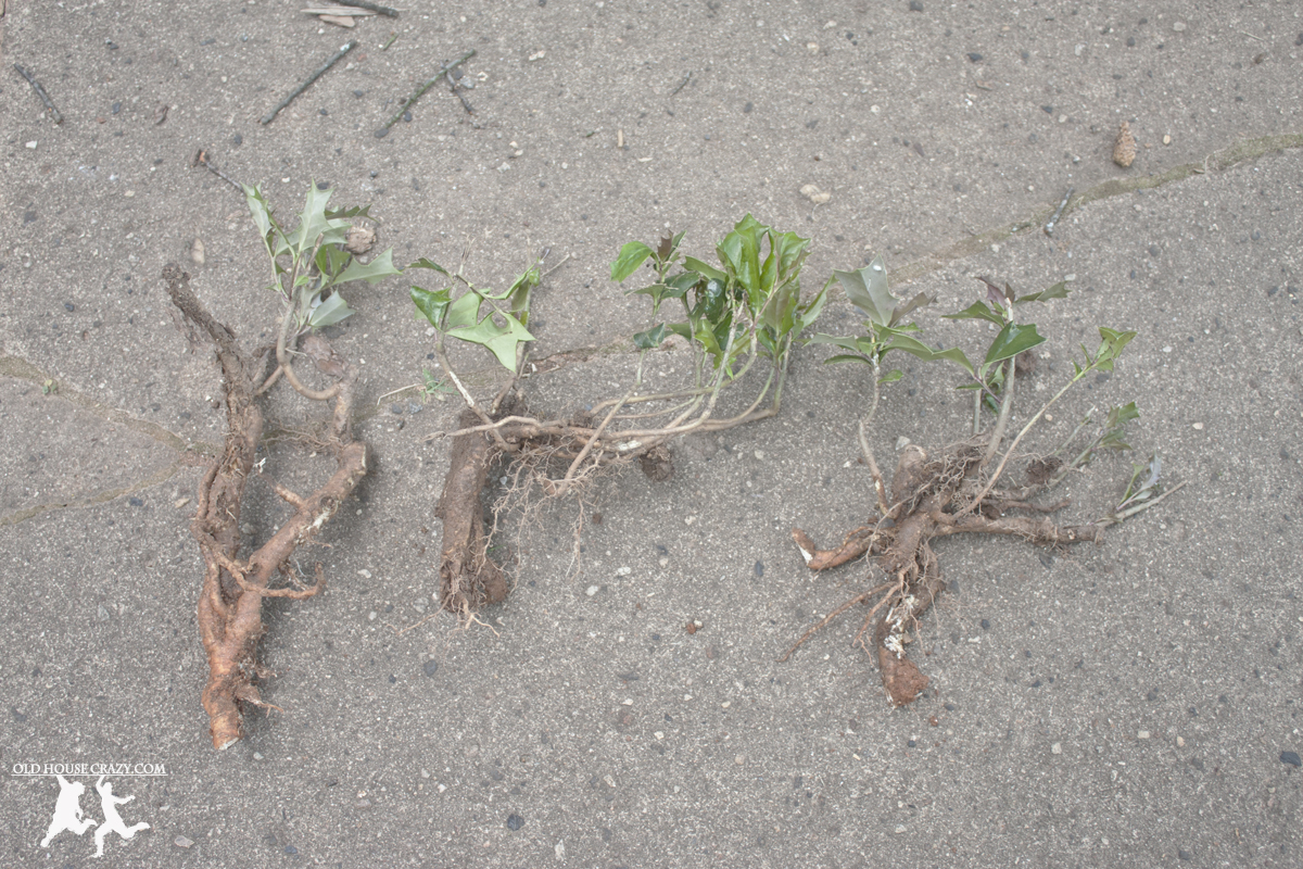 Weeds in flower beds with potato like roots - Above