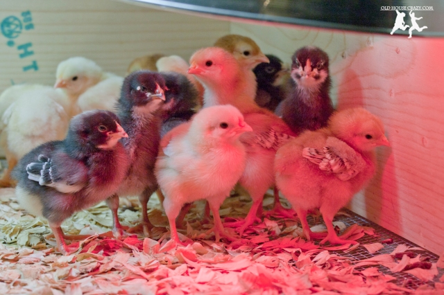 Old House Crazy - DIY - Raising Chickens - Baby Chicks - 03